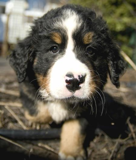 Sam the Bernese Mountain Dog Pictures 25044